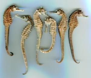 Chinese medicinal seahorses