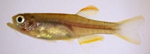 Fresh collected northern glowlight danio, Putao 1998